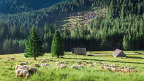 Wonderful flock of sheep grazing at sunrise, Tatra Mountains Royalty Free Stock Image