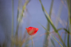 Wonderful flower of poppy on the blue sky backgroud Royalty Free Stock Photography