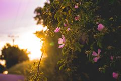 Wonderful flower with a sunset. Purple, green and pink colours, beautiful background for some web royalty free stock images