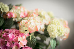 Wonderful flowers of Hydrangea , close up Royalty Free Stock Photo