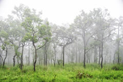Wonderful forest in fog Stock Photography