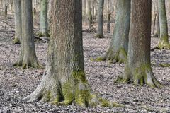 Wonderful forest landscape with large trees and mosses in Germany royalty free stock images