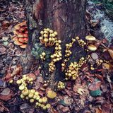 Wonderful forest. A tree with mushrooms on it in autumn Royalty Free Stock Images