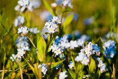 Wonderful forget-me-not Stock Photo