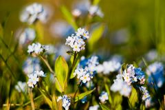 Wonderful Forget-me-not Stock Images