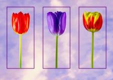 Wonderful framed Spring Tulips stock photos
