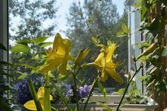 Wonderful garden on the balcony. Blooming daylily and other plants. Big yellow flowers in sunny day.  royalty free stock image