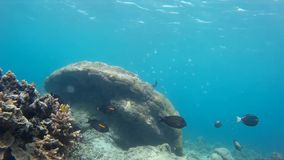 Wonderful Gili coral reef, exotic fishes stock video