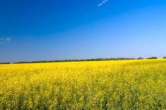 Wonderful  golden rapeseed field. Stock Image