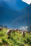 Wonderful grazing herd of sheep at dawn, Tatra Mountains Stock Photo
