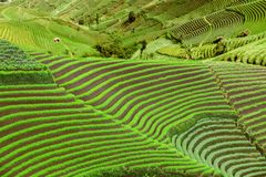 Wonderful green farmland with terraced system. Wonderful landscape of green farmland with terraced system in Bali, Indonesia royalty free stock photography