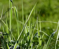 Green Gras in the summer Royalty Free Stock Image