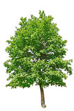 Wonderful green tree Stock Photos
