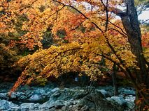 Wonderful japanese maple tree acer palmatum with autumn color. In Korea stock photography