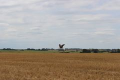 The eagle and large yellow fields of wheat stock photo