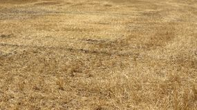 Yellow fields of wheat after harvest royalty free stock photo