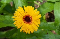 Wonderful large yellow - orange flower, like a large chamomile or a small sunflower. Wonderful large yellow - orange flower. With green leaves. In the garden stock images