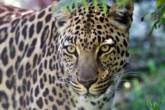 A wonderful leopard at the kruger national park Royalty Free Stock Photo