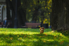 Wonderful life. Little Chihuahua in the park Royalty Free Stock Image