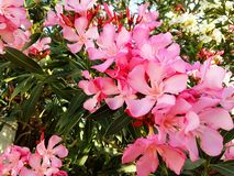 Beauty of nature.Flowering oleander royalty free stock photo