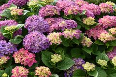 Wonderful lilac and pink hydrangea flowers. Wonderful blooming pink and lilac hydrangea flowers in a garden. Photo is well suited for greeting cards royalty free stock photo