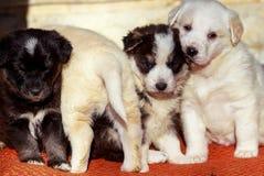 Wonderful little puppy dog, group of shepherd dog Stock Photography