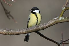 Wonderful look of a great tit perched on a branch. Photographed during a forest walk in La Chaux-de-Fonds Switzerland Stock Images