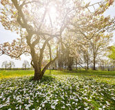 Wonderful magnolia tree Stock Image