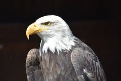 Wonderful majestic portrait of an american bald eagle with a black background. Portrait of the head of a wonderful majestic portrait of an american bald eagle stock images