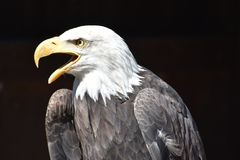 Wonderful majestic portrait of an american bald eagle with a black background. Portrait of the head of a wonderful majestic portrait of an american bald eagle royalty free stock photography