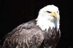 Wonderful majestic portrait of an american bald eagle with a black background. Portrait of the head of a wonderful majestic portrait of an american bald eagle stock photography