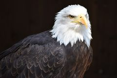 Wonderful majestic portrait of an american bald eagle with a black background. Portrait of the head of a wonderful majestic portrait of an american bald eagle stock image