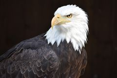 Wonderful majestic portrait of an american bald eagle with a black background. Portrait of the head of a wonderful majestic portrait of an american bald eagle royalty free stock image