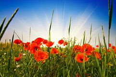 Wonderful meadow by summer. Royalty Free Stock Image