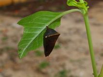 Cocoon butterfly Stock Photos