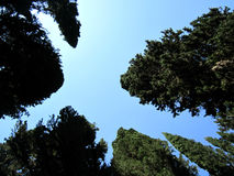 Wonderful nature. Slim series high cypress trees against the sky Royalty Free Stock Photo