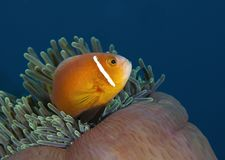 A wonderful orange fish underwater in Maldives, God created how beautiful. Everyone should see this scene once in your life, water life, the colorful life Stock Photography