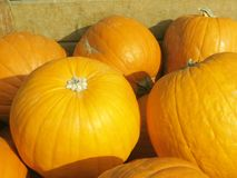 Wonderful orange golden yellow austrian pumpkins on a happy sunny day stock image