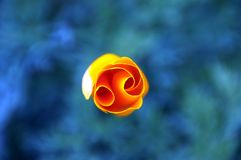 Wonderful orange rose from above - Peru South America. Wonderful orange rose from above with colored background - Peru South America royalty free stock images