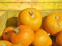 Wonderful orange yellow golden austrian pumpkins in a wooden box on a happy sunny day stock photo