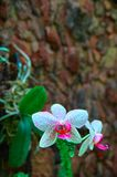 Wonderful Orchid Flower on dark stone wall background. Bright white with pink speckles flowers.For advertising, poster, cover. stock photo