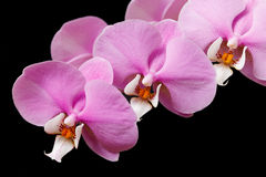 Wonderful orchid flowers. Orchid flower on black background Stock Photo