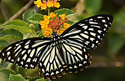 Wonderful oriental common mime papilio clytia clytia butterfly. stock image