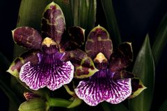 Wonderful pair of orchid flowers. Beautiful pair of a different orchid flowers. Macro lens Royalty Free Stock Photo