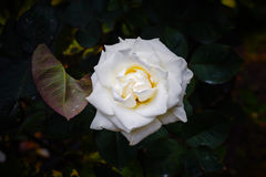 Wonderful pale white rose Royalty Free Stock Images