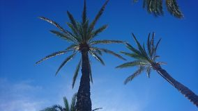 Wonderful palm trees with beautiful clear blue skies Royalty Free Stock Photo