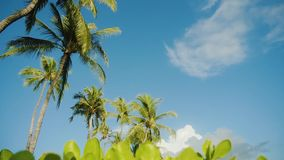 Wonderful palms under tender blue sky on sunny weather on maui,hawaii. Romantic blue sky with light white clouds over the beautiful tropical trees and plants stock footage