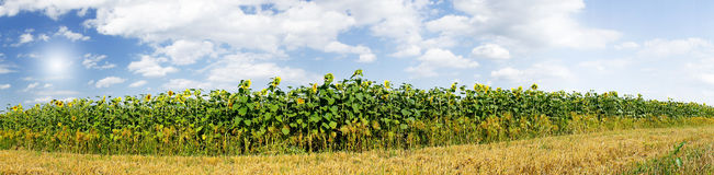 Wonderful  panoramic view  field of sunflowers . Royalty Free Stock Photos