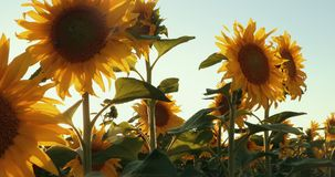 Wonderful Panoramic View Field Of Sunflowers By Summertime. Prores, Slow Motion. 4k stock footage