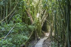 Wonderful path through tall bamboo trees, Maui, Hawaii. Wonderful path through tall bamboo trees, Maui in Hawaii stock images